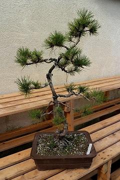 Black Pine.