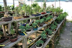 Bonsai Section