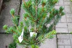 Pinus Arakawa