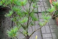 Pinus Ibo Can