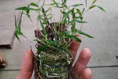 Arundia Graminifolia