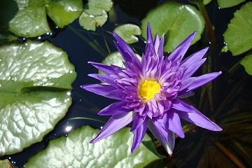 Water lilies flowering in late summer.
