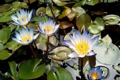 Blue and White Water Lilies